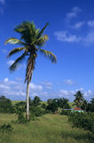 Palm tree in Dominican republic countryside Stock Image