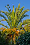 Palm tree at early morning sunshine at Sithonia Stock Images
