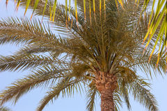 Palm tree in Egypt. Against blue sky Royalty Free Stock Photography