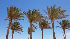 Palm tree. Egypt beach Palm tree low angle view with sky stock video footage