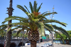 Palm tree on the embankment of Barcelona Stock Image