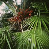 Palm tree in England in september 2018. royalty free stock photography