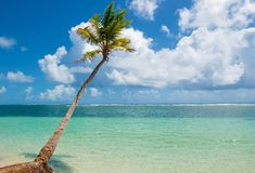 Caravelle beach, Saint Anne, Guadeloupe, French West Indies. Palm tree falling in the turquoise water of Caravelle beach, Saint Anne, Guadeloupe, French West royalty free stock photos
