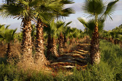 Date Palm Tree Farm Royalty Free Stock Photo