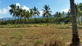 A Palm Tree Farm on Oahu's North Shore. Coconut bearing palm trees grow at the foothills of the Koolau Mountains in Mokuleia on the North Shore of Oahu Hawaii Stock Image