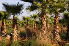 Palm Tree Farm Stock Photo