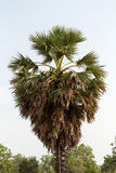 Palm tree farmers planted Royalty Free Stock Image