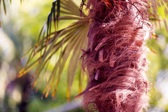 Palm tree fibers. Chit or Palm Thatch Tree Fibers - Thrinax radiata Stock Image