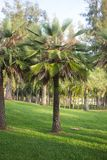 Oil palm tree in the field Royalty Free Stock Images
