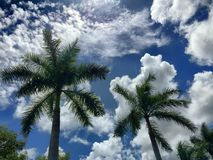 Palm Tree. In Florida Royalty Free Stock Photo