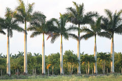Palm tree in Florida Stock Photos