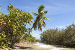 Palm tree in Florida. Coconut palm tree at the Bahia Honda key in Florida, United States Stock Photography