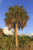 Palm tree in Florida. A small palm tree on the beach in Florida Stock Photography