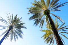 Palm tree florida. Under blue sky Royalty Free Stock Images