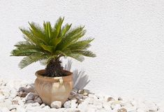 Palm tree in flower vase Royalty Free Stock Photo
