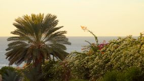 Palm tree and flowering bush on the background of the sea. Early morning stock video footage