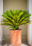 Palm tree in flowerpot. A potted palm tree in front of a wall, brick orange flowerpot Stock Photos