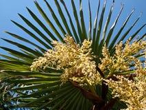 Flowers palm tree stock photos royalty free stock images palm tree flowers details of flowered palm tree royalty free stock images mightylinksfo Gallery