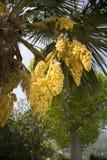 Palm tree flowers Royalty Free Stock Photo