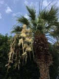 Palm tree with  flowers under a blue sky. Flowering palm tree in a blue sky setting Royalty Free Stock Photos