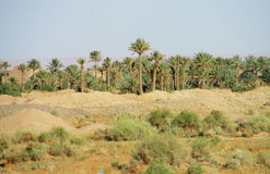 Palm tree forest in Africa Stock Photography