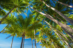 Palm tree forest against the blue sky Stock Photo