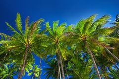 Palm tree forest against the blue sky Royalty Free Stock Photos