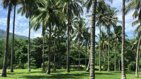 Palm tree forest in Bali, Indonesia. Palm tree forest at sunny day in Bali, Indonesia. Bali is an Indonesian island known for its forested volcanic mountains stock video