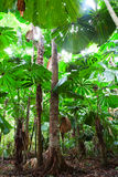 Palm tree forest canopy Royalty Free Stock Image