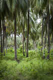 Palm Tree Forest - Colombia Royalty Free Stock Photos