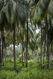 Palm Tree Forest - Colombia Royalty Free Stock Images