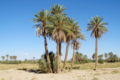 Palm tree forest in desert Royalty Free Stock Photography