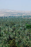 Palm tree forest in Elche Stock Photography