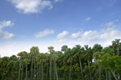 Palm tree forest in Florida blue summer tropical royalty free stock photos