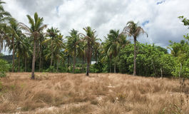Palm tree forest with grass field in Con Dao island, Vietnam.  Stock Images