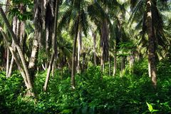 Palm tree forest on Isla Grande. Most palms are native to tropical and subtropical climates. Palms thrive in moist and hot climates but can be found in a variety stock photo