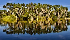Palm tree forest. Palm trees in the middle of the lake at Riverside California Fairmont park Royalty Free Stock Photo