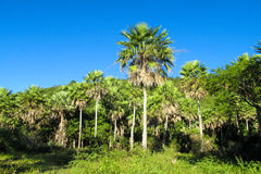 Palm tree forest in tropics Royalty Free Stock Images