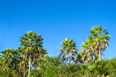 Palm tree forest in tropics Royalty Free Stock Photos