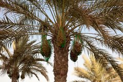Palm tree with fresh ripe dates Royalty Free Stock Photos