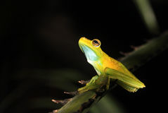 Palm tree frog sitting on a branch, Mindo, Ecuador Royalty Free Stock Photo