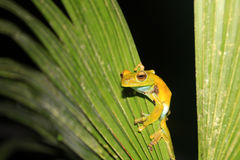 Palm tree frog sitting on a leave, Mindo, Ecuador Royalty Free Stock Image