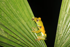 Palm tree frog sitting on a leave, Mindo, Ecuador Stock Image