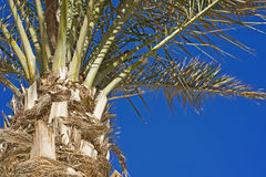 Palm tree fronds on blue sky. Top of plam tree with fronds against a blue sky background Royalty Free Stock Image