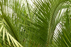 Palm tree fronds closeup Stock Photography
