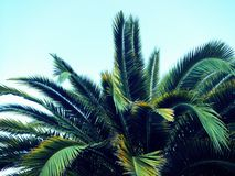 Palm tree fronds Royalty Free Stock Image