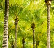 Palm tree fronds. Lush green palm tree fronds royalty free stock image