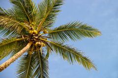 Palm tree with the fruit of coconut Royalty Free Stock Images