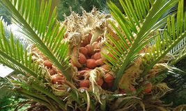 Palm tree fruit Royalty Free Stock Images