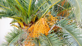 Palm tree fruit stock photo